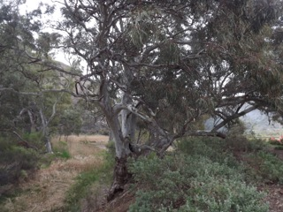 Magnificent Eucalypt Trees in Burra Gorge
