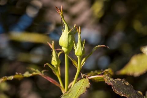Roses Budding